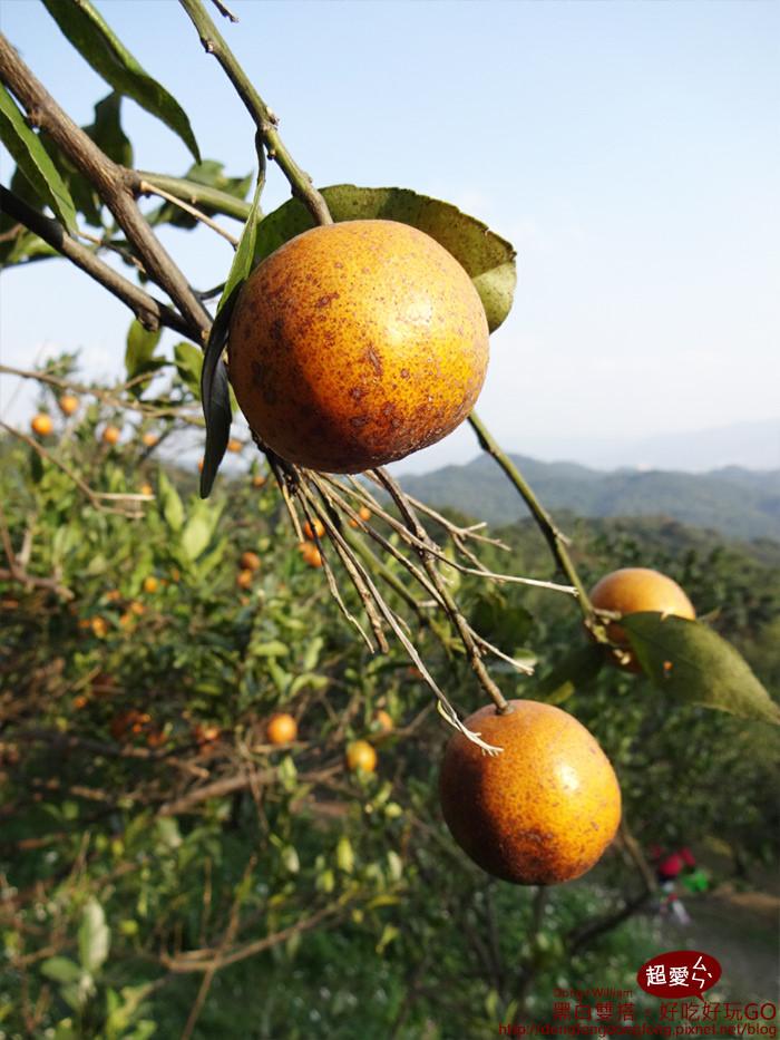 橘子看起來沒農藥,雖然看起來醜醜,但是很安心!